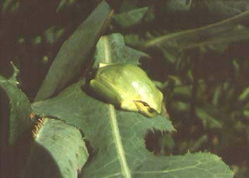 Hyla arborea, color photo