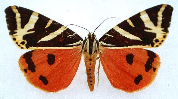 Альбом пользователя ЕкатеринаКостинская: Бабочка Медведица четырёхточечная. Коллекция 36 бабочек-малявок